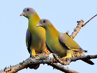 Yellow-footed green pigeon - Pair in Mangaon, Maharashtra, India