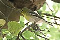 Yellow-throated Vireo National Butterfly Center Mission TX 2018-03-07 14-03-00 (38933852410).jpg