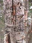 YellowBellied Sapsucker Holes.jpg