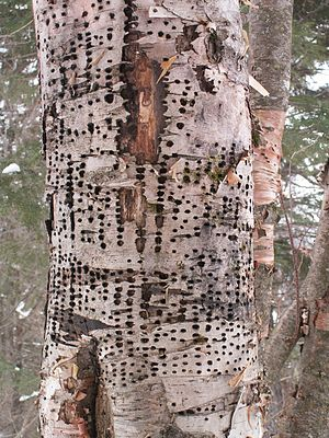 Yellow-bellied sapsucker - Holes in a dying white birch, Jacques-Cartier National Park