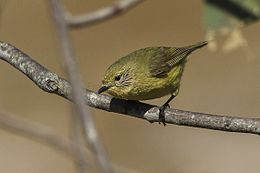 Yellow Thornbill - Little Desert NP - Victoria S4E4540 (22399595001).jpg