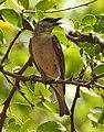 Yellow Throated Sparrow Gymnoris xanthocollis by Dr. Raju Kasambe DSCN0185 (2).jpg