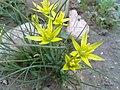 Yellow flower - گل زرد - panoramio.jpg