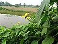 Yellow flower in Natore.jpg