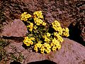Yellow mountain flowers.jpg