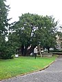 Yew Tree, St Mary's Overton-on-Dee - geograph.org.uk - 566977.jpg