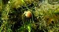 Young Aquatic fungus champignonAquatique à lamelles Moyenne-Deûle mai 2015 F.Lamiot 01.jpg