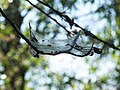 Yponomeuta evonymella (larva) - Bird-cherry ermine (caterpillar) - Горностаевая моль черёмуховая (гусеница) (27912195317).jpg