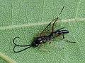 Yponomeuta evonymella - Bird-cherry ermine (parasitoid) - Горностаевая моль черёмуховая (паразитоид) (28119256777).jpg