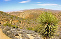 Yucca pines near Ryan Mountain Trail, Joshua Tree National Park, CA.jpg