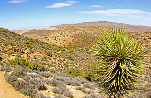 Riverside County, California - Yucca pines near Ryan Mountain Trail in Joshua Tree National Park