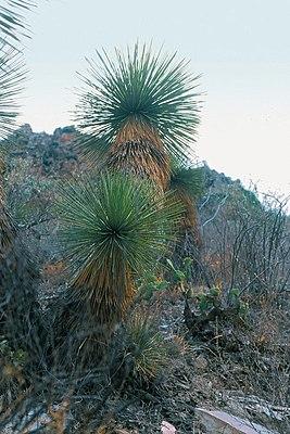 yucca palme die vierhundertdreiundachtzigste wer weiss. Black Bedroom Furniture Sets. Home Design Ideas