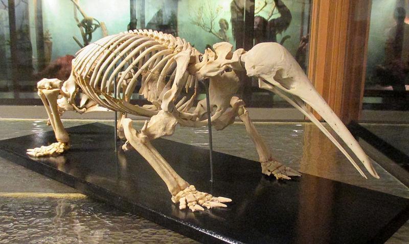 Características del equidna de hocico curvo
