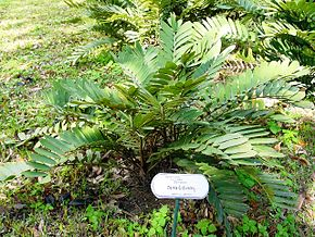 Description de l'image Zamia furfuracea03.jpg.