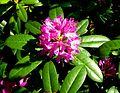 Zelenika Rhododendron Ponticum.jpg