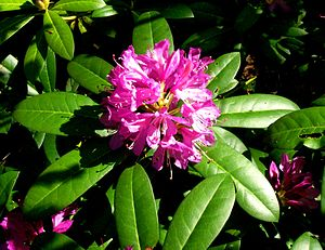Euxine-Colchic deciduous forests - An understory of evergreen shrubs like the Pontic rhododendron is characteristic for the Euxine-Colchic deciduous forests ecoregion