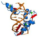 Transcription factors bind to DNA, influencing the transcription of associated genes.
