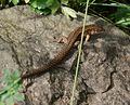 Zootoca vivipara (Viviparous lizard) - Flickr - S. Rae.jpg