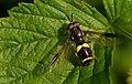 Zweiband-Wespenschwebfliege (Chrysotoxum bicinctum) , Brackvenn, Ostbelgien (27735538055).jpg