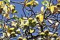 Zweige eines Wildapfelbaums im September III.jpg
