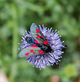 Zygaena filipendulae sur une fleur.jpg