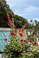 'Alcea rosea' holyhock and apples Quex House Birchington Kent England.jpg
