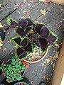 'Giant Exhibition Magma' coleus IMG 0966.jpg