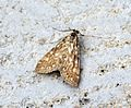 (1345) Brown China-mark (Elophila nymphaeata) - Flickr - Bennyboymothman.jpg
