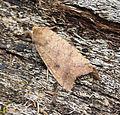 (2262) The Brick (Agrochola circellaris) (21597591104).jpg