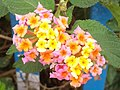 (Lantana camara) at Ammuguda railway station.jpg