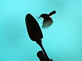 (Leptocoma zeylonica) Purple rumped Sunbird at Madhurawada 1.JPG