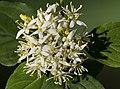 (MHNT) Cornus sanguinea - Inflorescence.jpg