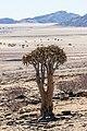 Áloe-aljaba (Aloe dichotoma), parque nacional de Namib-Naukluft, Namibia, 2018-08-05, DD 39.jpg