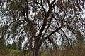 Árbol de pirul (Schinus molle).JPG