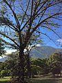 Árbol en Parque del Este.JPG