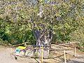 Горіх Юрія Нікуліна, м. Алушта, с. Лучмсте, на території Долини привидів у підніжжя гори Демерджи. Демерджі (30).JPG
