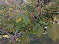 Дерево горіха.jpg