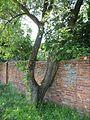 Дерево приросшее к стене - panoramio.jpg