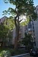Дуб Кирпоноса в ранковому світлі.jpg