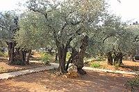 Оld Olive trees in the Garden of Gethsemane, 02.jpg