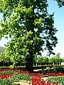 Петергоф, Монплезирский сад. Дуб. 2011-09-23.jpg