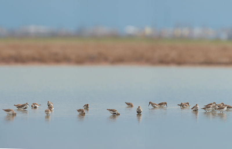 Dunlins (Calidris alpina) in Tylihul Estuary Landscape Park, Odessa Oblast, Ukraine. Quality image (by Ryzhkov Sergey under CC-BY-SA-4.0)