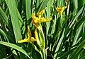 Початок цвітіння Півників болотних в Долині Ірисів P1390790.jpg