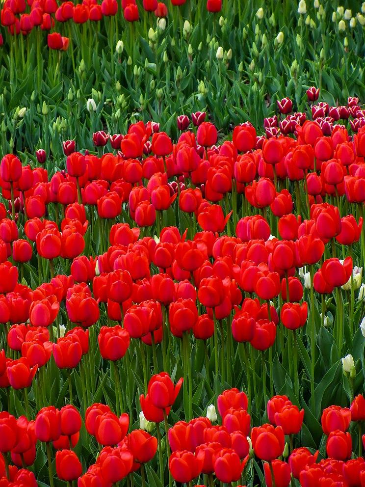 Тюльпан - eAnswers 2480672f573d4