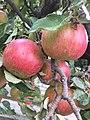 Խնձորենի.jpg