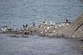 رفتار مرغان دریایی نوروزی یا یاعو در کشور عمان، شهر مسقط، ساحل دریای عمان - عکس مصطفی معراجی 06.jpg