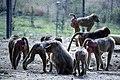 مجموعه عکس از رفتار میمون ها در باغ وحش تفلیس- گرجستان 13.jpg