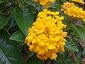 உண்ணிச்செடி(மஞ்சள்) 1 (Lantana camara(yellow).jpg