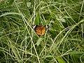 ツマグロヒョウモン (褄黒豹紋) (Indian Fritillary) (Argyreus hyperbius)-雌 (7254292378).jpg