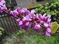 ハナズオウ(花蘇芳)(Cercis chinensis)-花 (5845192270).jpg